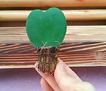 [진아플라워] 마음하나 하트호야 무지잎|Hoya carnosa