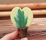 [진아플라워] 마음하나 하트호야 무늬잎 Hoya carnosa