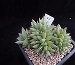 샤치철화310|Echeveria agavoides f.cristata Echeveria