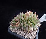 샤치철화381|Echeveria agavoides f.cristata Echeveria