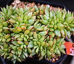 골드샤치철화 379|Echeveria agavoides f.cristata Echeveria