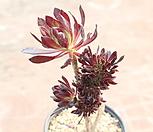 흑법사철화1221 Aeonium arboreum var. atropurpureum