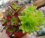 흑법사 청금(한몸입니다) Aeonium arboreum var. atropurpureum