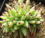 샤치철화24|Echeveria agavoides f.cristata Echeveria