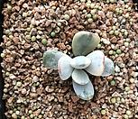 방울복랑금 (뿌리튼실) Cotyledon orbiculata cv variegated