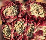 일본원종사라히메662 Echeveria Sarahime