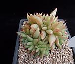 샤치철화401|Echeveria agavoides f.cristata Echeveria