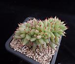 샤치철화382|Echeveria agavoides f.cristata Echeveria