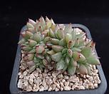 샤치철화331|Echeveria agavoides f.cristata Echeveria