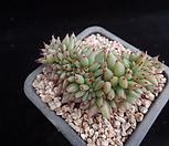 샤치철화301|Echeveria agavoides f.cristata Echeveria