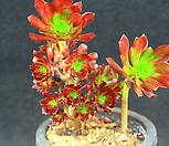 흑법사 철화 (KN0160) Aeonium arboreum var. atropurpureum