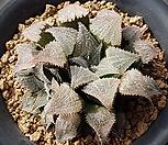 특)핑크위미2두 대묘 하월시아 570|haworthia