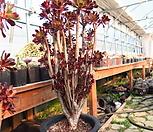 흑법사철화 Aeonium arboreum var. atropurpureum