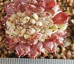 일본원종사라히메철화 Echeveria Sarahime