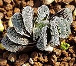 하월시아)눈토끼|haworthia