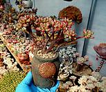 홍치아철화 한몸군생 묵은둥이|Echeveria macdougallii