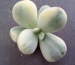 방울복랑금(뿌리무)최상급수박금 Cotyledon orbiculata cv variegated