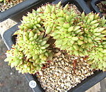샤치철화93|Echeveria agavoides f.cristata Echeveria