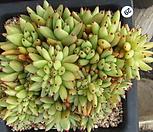 샤치철화29|Echeveria agavoides f.cristata Echeveria