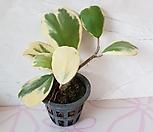 무늬 하트 호야(M) 2018 새상품 /하트 모양 예쁜 공기정화식물|Hoya carnosa