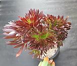흑법사철화20 Aeonium arboreum var. atropurpureum