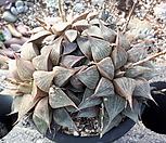 하월시아|haworthia