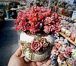브라이언로즈철화 한몸 묵은둥이|Echeveria Briar Rose