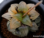 ISI아트로푸스카금 극상반(極上斑) (Haworthia ISI atrofusca variegated, offset)|