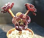 로즈흑법사206-15 Aeonium Schwartzkopf