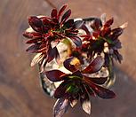 흑법사 철화군생 27 Aeonium arboreum var. atropurpureum