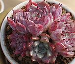 일본원종사라히메자연군생한몸 Echeveria Sarahime