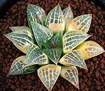 골드퀸금 극상반(極上斑) (Haworthia comptoniana hyb. Gold Queen variegated, offset)|
