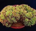 샤찌 철화 대품_m9|Echeveria agavoides f.cristata Echeveria