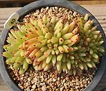 샤치철화|Echeveria agavoides f.cristata Echeveria