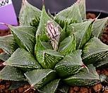 옵투사 실생(obtusa 實生)-1-14-No.3659|Haworthia cymbiformis var. obtusa