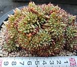 일본레드깨알샤치철화|Echeveria agavoides f.cristata Echeveria