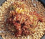 레드샤치철화|Echeveria agavoides f.cristata Echeveria
