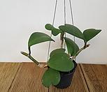 하트호야/공중식물/공기정화식물|Hoya carnosa