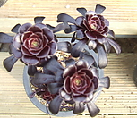 로즈흑법사-203 Aeonium Schwartzkopf
