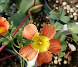 쿠페리오렌지(옵투사사랑초)|Haworthia cooperi