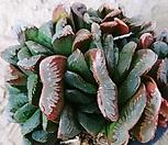 하월시아02123|haworthia