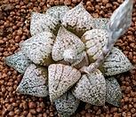 루비백계(반구형)픽타|Haworthia picta