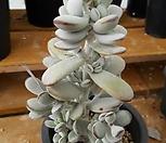 방울복랑ㅡ짱짱.튼튼|Cotyledon orbiculata cv