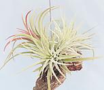 [풀장사] 유목 이오난사클럼프 목부작/틸란드시아/에어플랜트/공기정화식물/미세먼지제거/행잉플랜트/반려식물/홈가드닝|Tillandsia