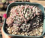 로이드 27-174|Echeveria minima hyb Roid