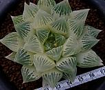 백사전(白蛇傳) 호반(糊斑) (Haworthia obtusa Hakuja-den reverse variegated)|