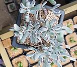 원종방울복랑  3|Cotyledon orbiculata cv