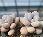 아메치스79|Graptopetalum amethystinum