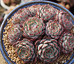 묵은로이드자연75|Echeveria minima hyb Roid