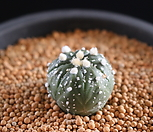 S2987 Astrophytum asterisa 투구(약W2.6Cm, 5년)|